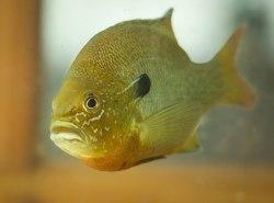 Red-breast Sunfish