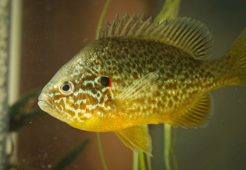 This summer the MLRC displayed native fish, invertebrates, and plants in our new Littoral Tank (Pumpkinseed sunfish pictured).