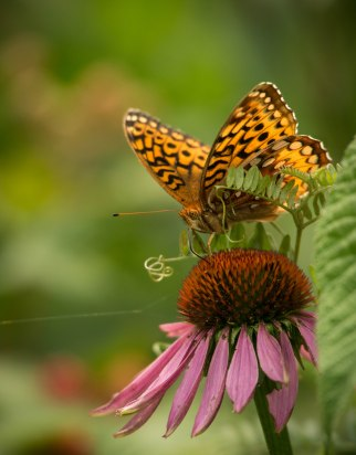 Many species of butterfly (like this Great Spangled Fritillary) foraged on the variety native and native friendly flowers species in the MLRC buffer garden.