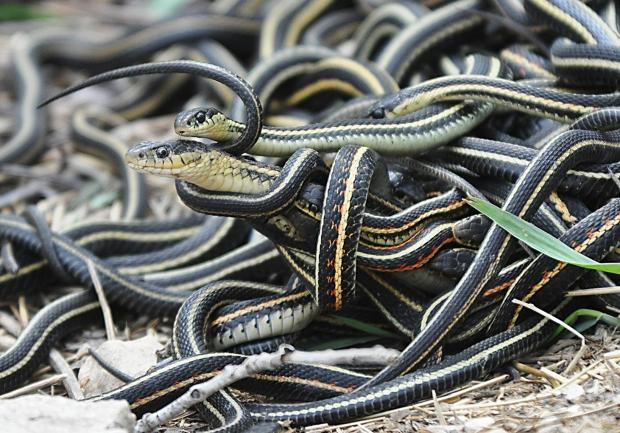 mating_ball_of_garter_snakes